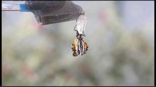 Monarch Butterfly Emergence