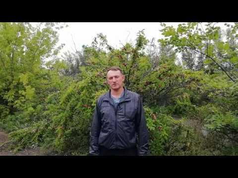 Выращивание сливы в Сибири