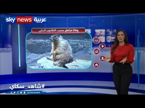 وفاة مراهق بالطاعون الدبلي بعد تناوله لحم -المرموط- | منصات  - نشر قبل 22 ساعة
