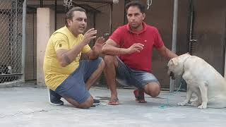 Visit To Rajaland Labrador Kennel Haryana  Detailed Information About English Labrador Dog Breed