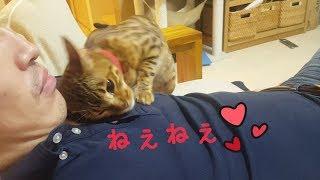普段旦那さんに全然懐かないベンガル猫のベルが発情期中だけはベタベタします。旦那さん弄ばれてる(笑)