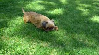 Brussels Griffon Dog Goes Crazy!