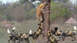 Wild Dogs and Hyenas confront each other, Hyena is tired and give up... thumbnail