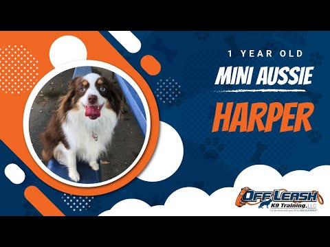 Mini Aussie, Harper! | Dog Training along CA's Central Coast