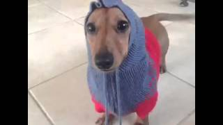 Sweater Weather Vine By: Dexter The Dachshund