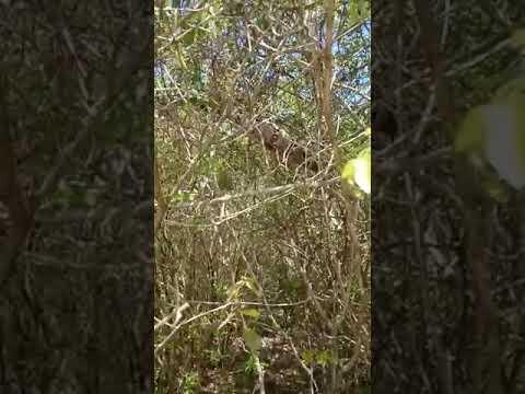 Jiboia é flagrada em árvore em beira de rio de Ituaçu