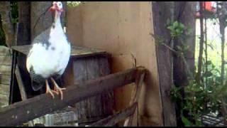 Canto y sonidos de gallina de guinea