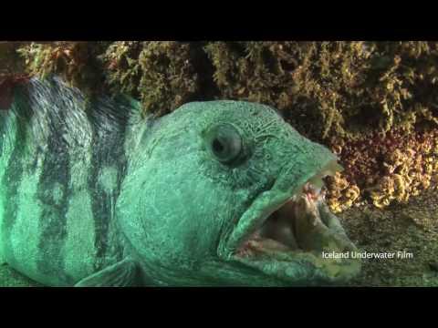 Icelandic Sea Life Youtube