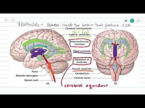 ventricles of the brain and csf - youtube, Human Body