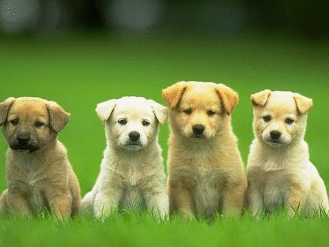PAWSitively Petland Radio Show - Bullmastiff, Socializing Dogs, Primal Treats