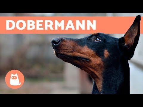 Dobermann – Carattere e addestramento