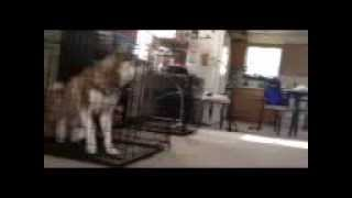 The Great Siberian Husky Escape Artist!