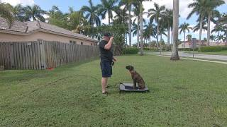 How To Train Boxer Dog 1 Week Training!