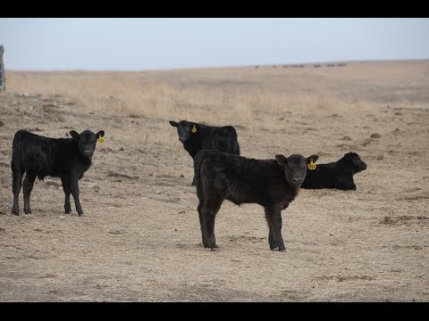 Post Fire Cattle Health