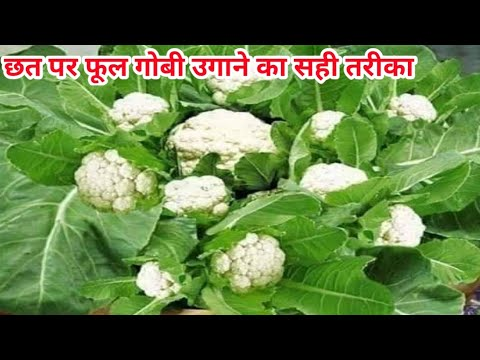 How to grow cauliflowers in terrace/ vegetable gardening