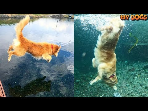 Amazing! Dog Who Really Loves To Swim, Dive, Retrieve Thing From The Bottom