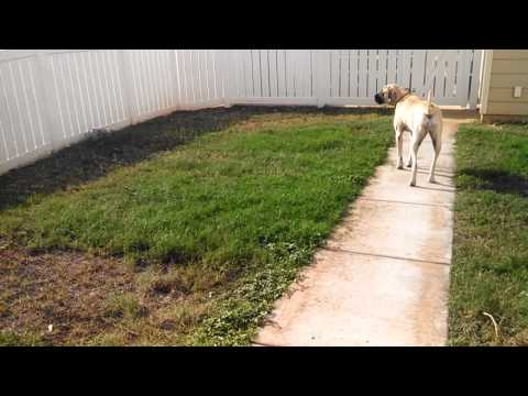 English Mastiff being a guard dog!