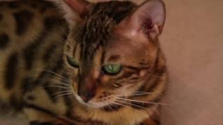 Бенгальская кошка Аида. Омут зеленых глаз... Exotic Pride