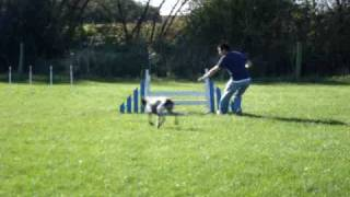 Agility With German Shorthaired Pointer