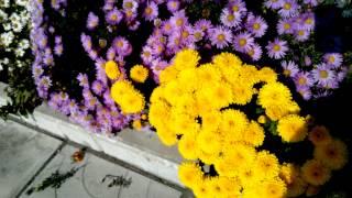 БАЛ ХРИЗАНТЕМ - астра многолетняя Хризантема жёлтая бордюрная миниатюрная 黄色の菊の抑制(цветение - октябрь., 2013-10-13T04:36:31.000Z)