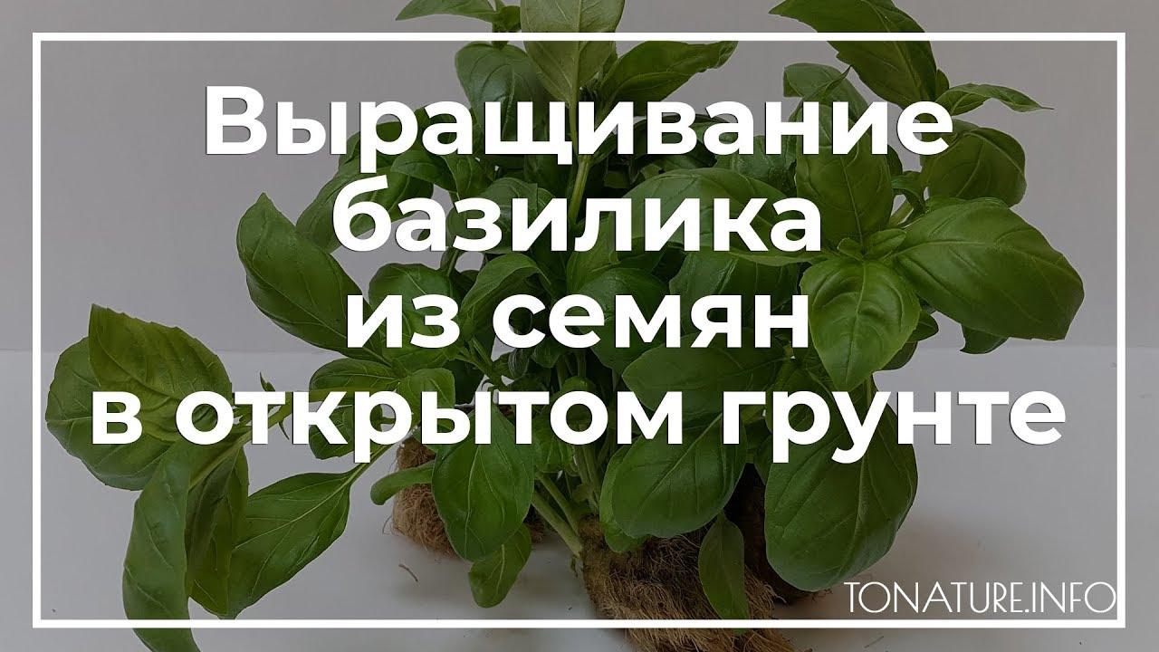 Выращивание базилика из семян в открытом грунте | toNature.Info