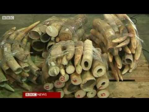 BBC News - Shark fins and ivory discovered in Hong Kong