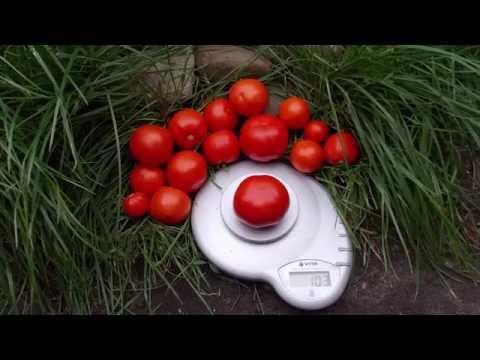 "Сорт томата ""Белый налив"""