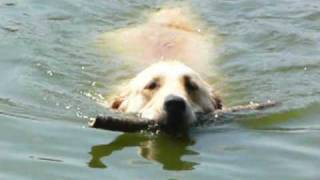 Labrador Retriever Called Sofer Jumping Into Water To Retrieve Stick