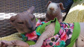 Cat RAMSES is Still Afraid of Little Guinea Pig LUIS 🐈🐷