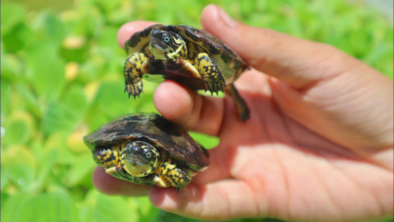 New Cute Rare Blue Eyed Baby Turtles Youtube