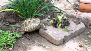 Russian Tortoise in outdoor habitat