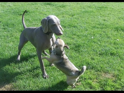Jug Dog Bridie being exercised by Weimaraner Sebastian.