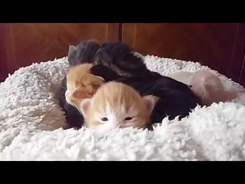 Norvég Erdei Macska | Norwegian Forest Cat ≧^◡^≦  the Expanse litter 2 weeks old