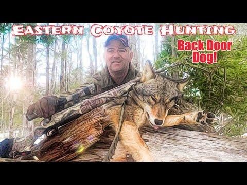 Eastern Coyote Hunting -