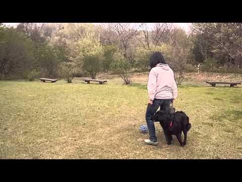 Flat-coated Retriever, Vicki's sightless retrieving