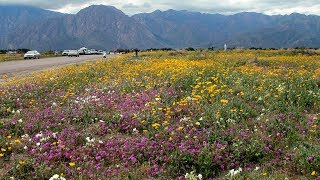 When the wildflowers are blooming in Anza-Borrego, a drive along He...