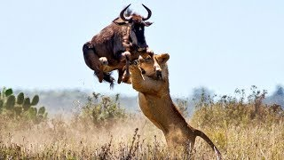 Impressive Scene! Lion Seize The Opportunity To Chase Wildebeest To Migrate - Discovery Wild Animal