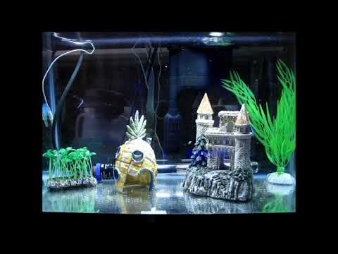 Marine Blue Neon Gobies (Proaquatixs) In QT
