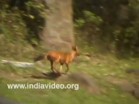 Pack of Wild Dogs on hunt