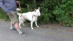 Valkoinenpaimenkoira koulutuksessa, Koirakoulu Homeetta