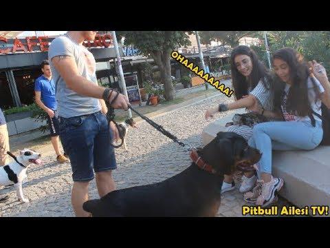 Korsan Pitbull ve Rottweiler İle Sokağa Çıktık – Bakın İnsanların Tepkisi Ne Oldu!!!!