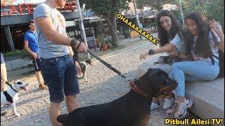 Korsan Amstaff ve Rottweiler İle Sokağa Çıktık - Bakın İnsanların Tepkisi Ne Oldu!!!!