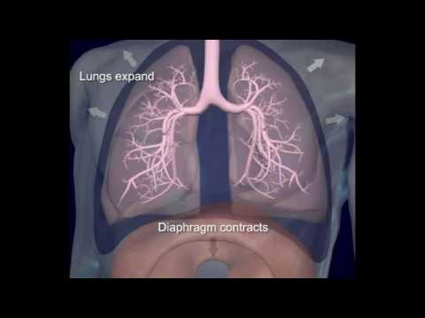 respiratory system-7 role of diaphragm in breathing - YouTube
