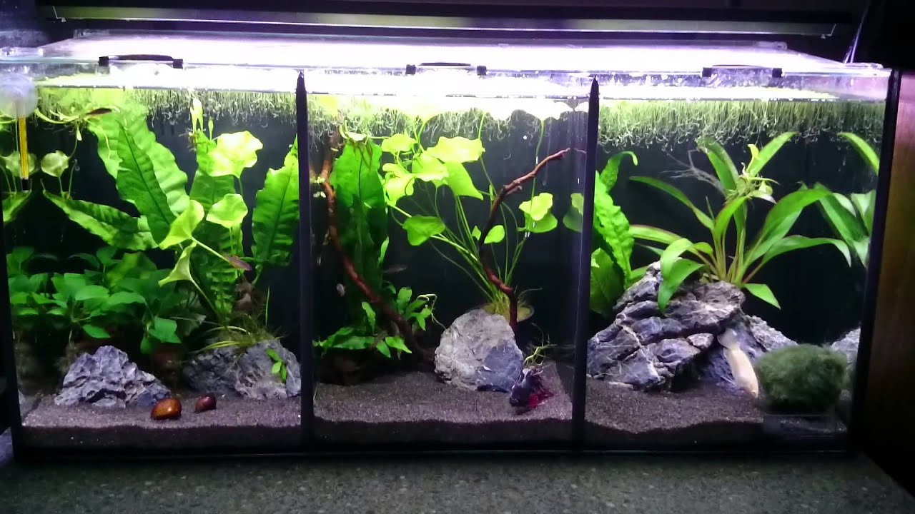 Aquaone betta trio youtube for Split fish tank