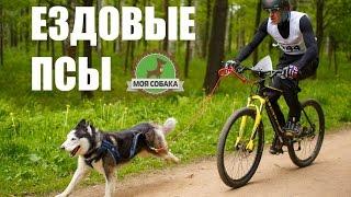 видео Обучение и подготовка собак каникроссу - спортивное соревнование собаки и человека! В Москве и Московской области недорого!