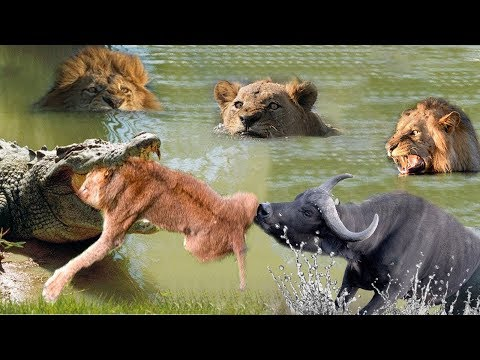 LIVE: Wild Discovery Animals Fight - Buffalo Come To Pulled Out Poor Lion Was Swallowed By Crocodile