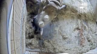 Eastern Black Rhino Gives Birth at Cincinnati Zoo