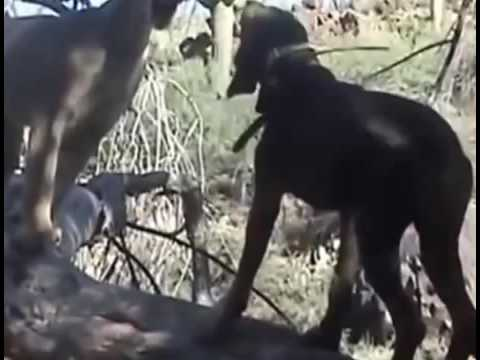 Lion vs Pitbull Real Fight to Death