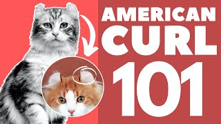 American Curl Cat 101 : Breed & Personality