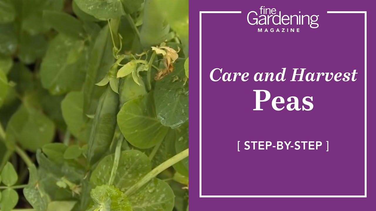 Peas - Care and Harvest - YouTube